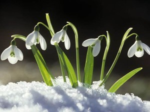 February Snowdrop Flowers