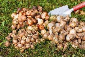 September - flower bulbs in the garden