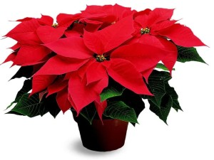 December poinsettia